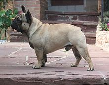French Bulldog in standing position