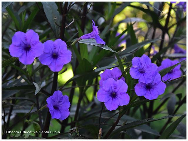 Flores- Chacra Educativa Santa Lucía