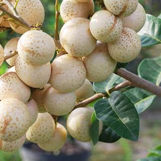 kelengkeng-aroma-durian-murah.jpg