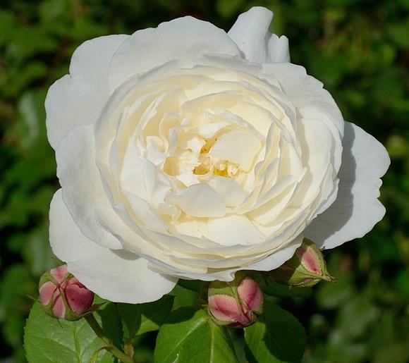 William and Catherine сорт розы фото купить саженцы Минск