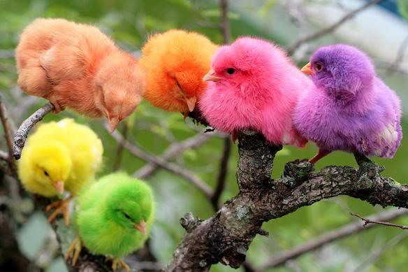 Niia Blog All About Animals Derita Ayam Warna Warni