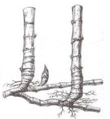 Resultado de imagem para bambu alastrante