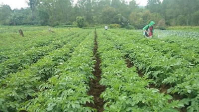 banyaknya petani kentang di dieng