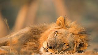 Tiger of Manas National Park