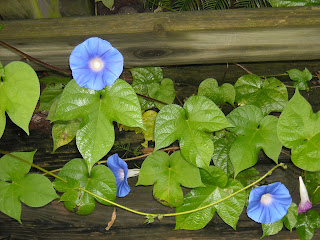 Illustration of Morning Glories for a poem
