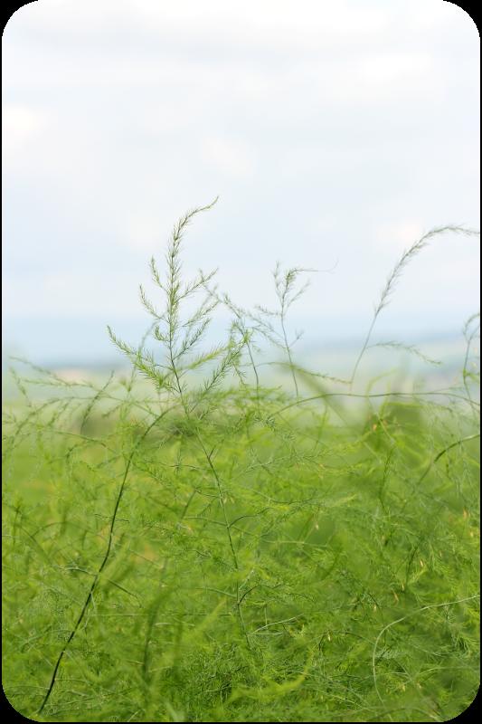 Spargel im August - im Spargelfeld | Arthurs Tochter Kocht von Astrid Paul