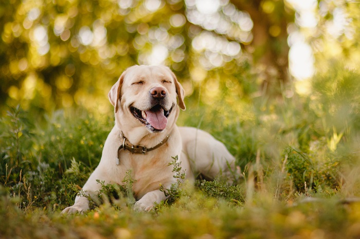 Labrador Retriever 5 Breeds of Dogs Based On Your Personality & Needs