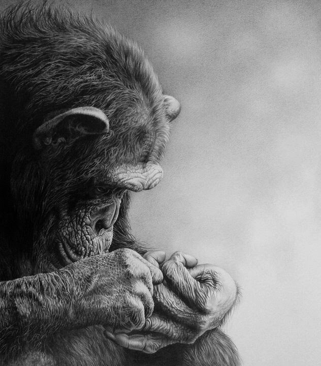 07-Fascination-Chimpanzee-Julie-Rhodes-Wildlife-Animals-Realistic-Pencil-Drawings-www-designstack-co