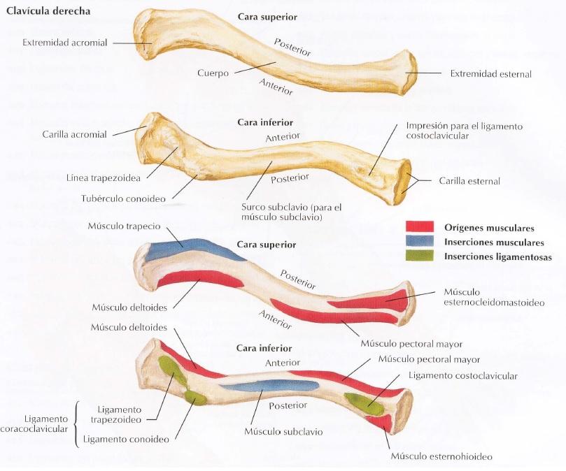 Osteología Miembro Superior - Kinesiología para Estudiantes