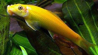 Gambar Ikan CAE (Chinesse Algae Eater)