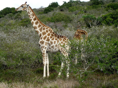 Kruger National Park, South Africa, safari, giraffe