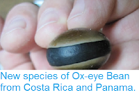 http://sciencythoughts.blogspot.co.uk/2012/07/new-species-of-ox-eye-bean-from-costa.html