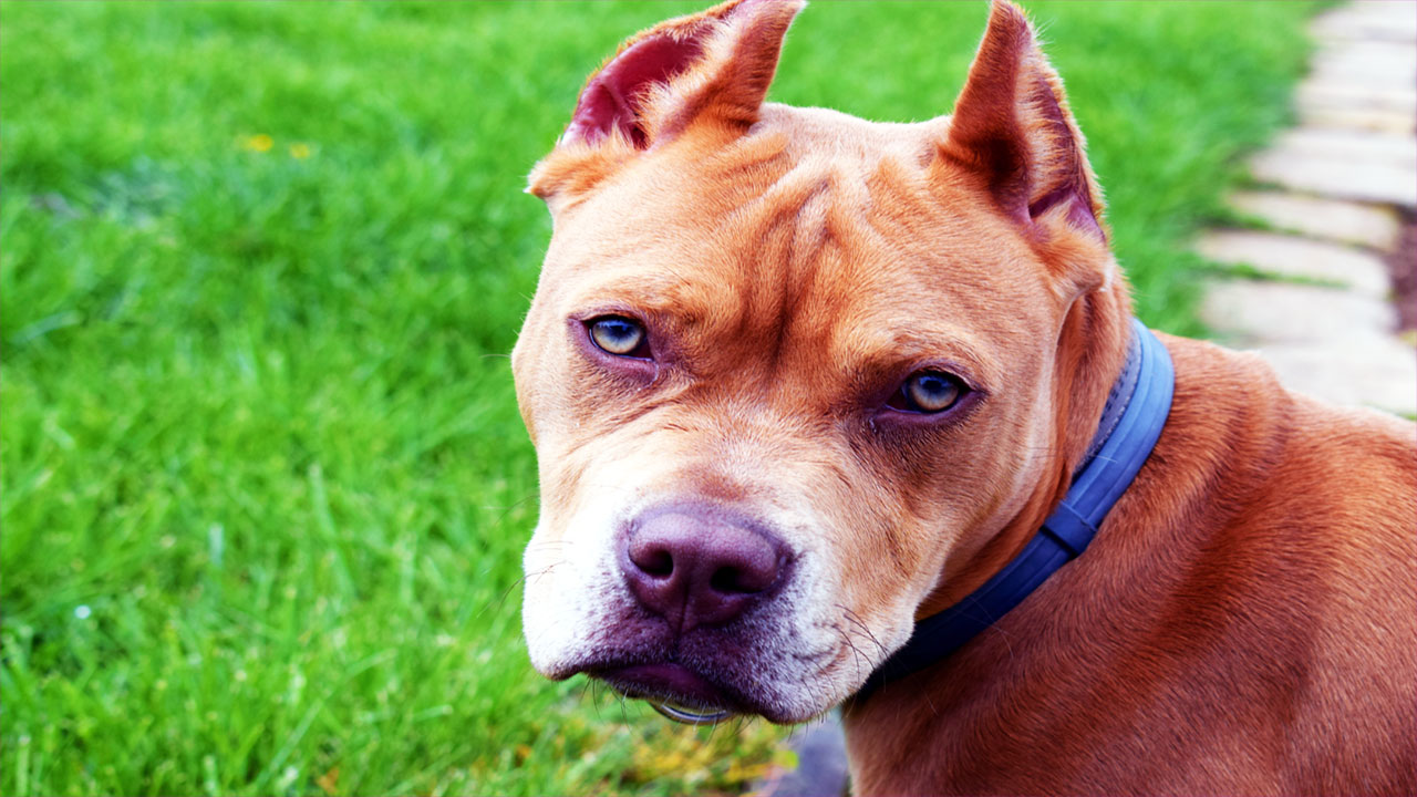 Heroic Pit Bulls Who Saved Their Humans' Lives