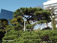 300 year old pine top with supports - Hama-Rikyu Garden, Tokyo, Japan