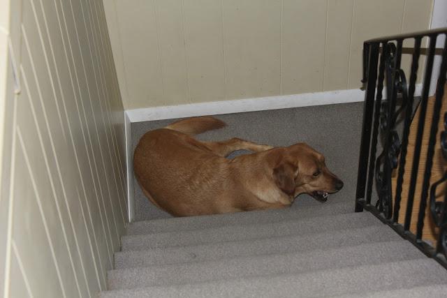 golden labrador dog likes to eat used tissues strange addiction
