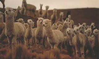 アルパカが暖かい理由。放牧されたアルパカの様子
