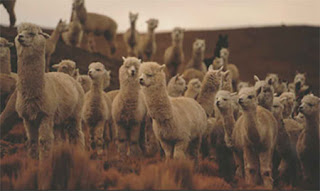 放牧されているアルパカの群れの画像