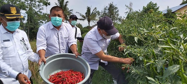 Poktan Sadar Tani Deliserdang Panen Cabai Merah Bantuan Covid-19