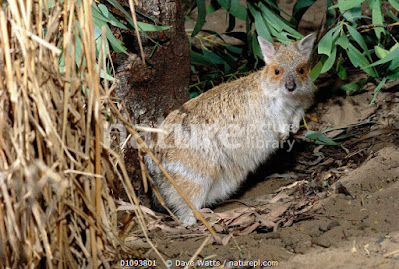 Wallaby liebre de anteojos (Lagorchestes conspicillatus)