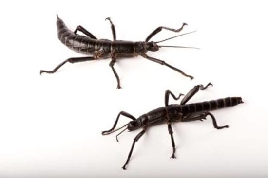 lagosta-de-árvore Dryococelus australis extinta