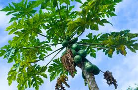 Health is wealth: Fight cancer with papaya leaf extract