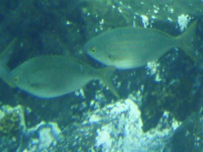 Goldstrieme - Sarpa salpa (Dorade) © Canarian Sea 01