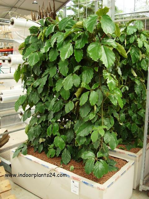 chestnut vine tetrastigma voinierianum plant info