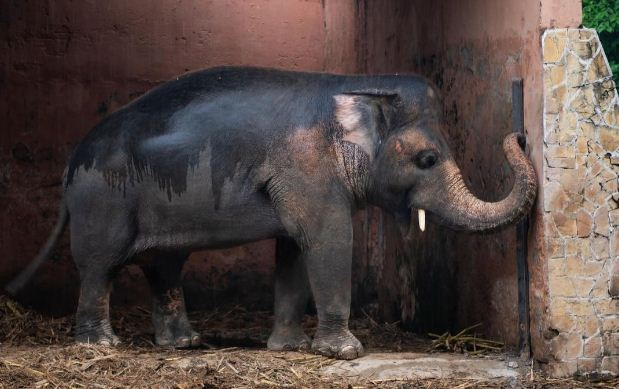 Gajah Paling Kesepian di Dunia Meninggalkan Kebun Binatang Untuk Kehidupan Baru