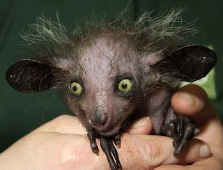www.fertilmente.com.br - repare nos olhos grandes e os dedos desproporcionais, adaptados a seus habitos noturnos