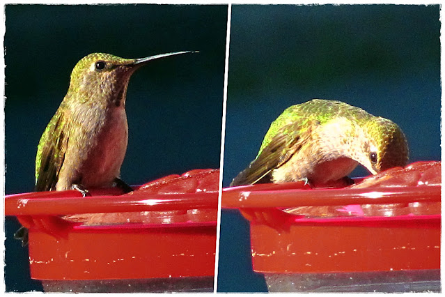 Hummingbirds visit the feeder in our garden.