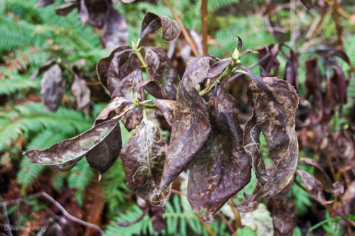 Pacific Madrona Leaf Blight