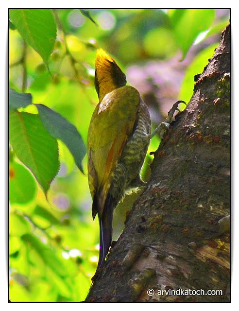 Lesser yellownape, woodkeeper, bird, indianbirds