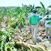 INESPRE compra un millón plátanos a productores afectados por Laura