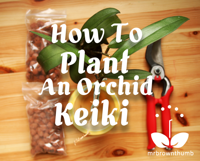 How to Plant an Orchid Keiki