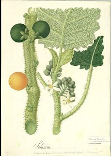 acuarela arte lulo naranjlla Solanum quitoense schultes