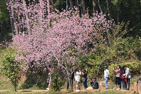 Hoa anh đào nở rộ hút khách du lịch tại Kon Plông
