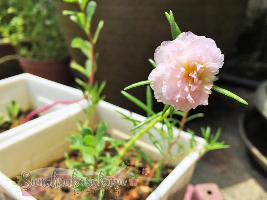 Cantiknya Bunga Rose Jepun Ni