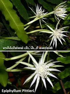 Epiphyllum Pittieri flower