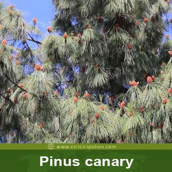 ciri ciri pohon pinus canary
