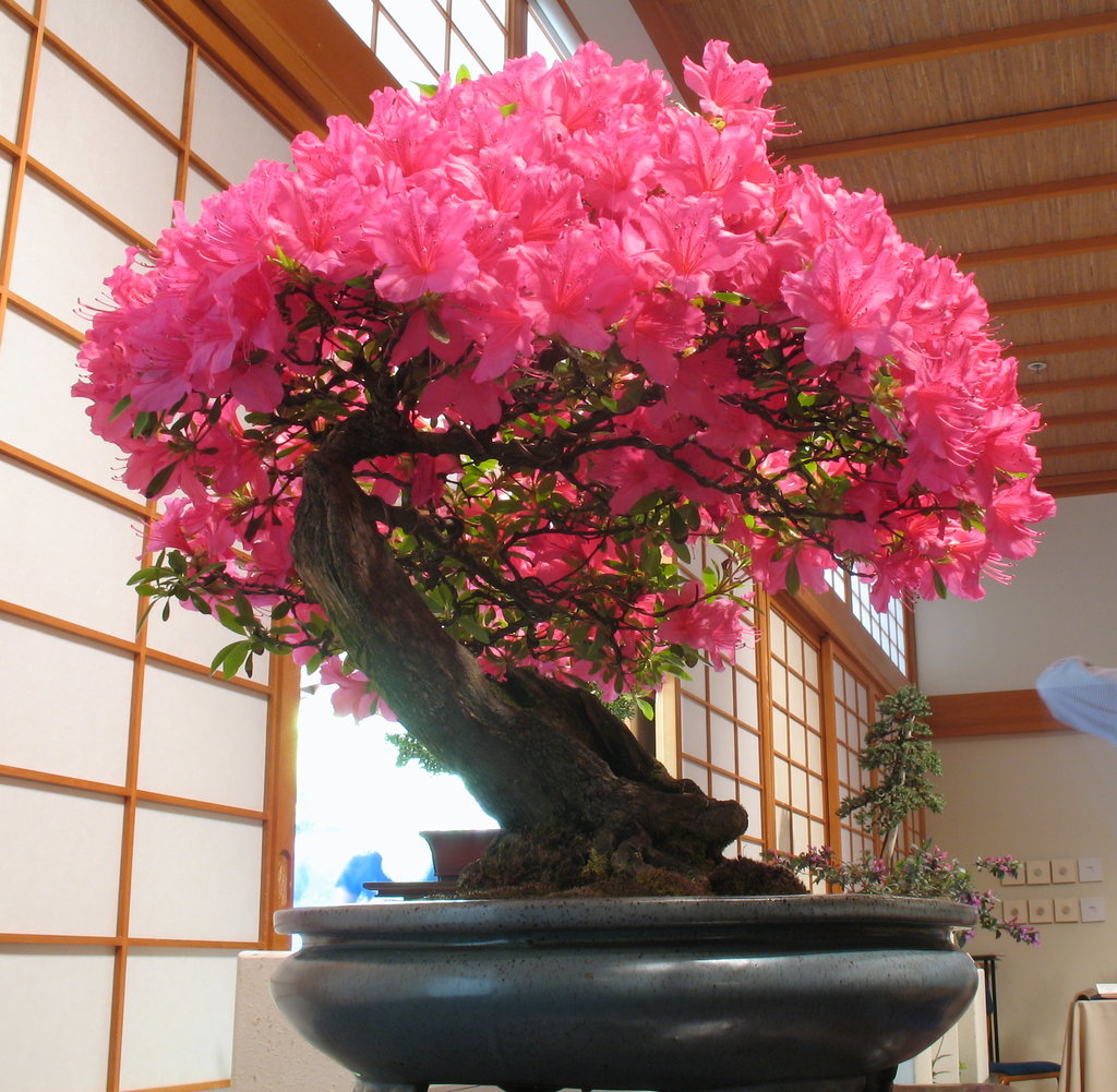 Lessons From The Bonsai Finally Gift Of Giving Life Wiring Lesson Heres A Large Azalea If You Look Closely Can See Wires On This One