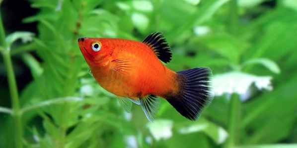 Caring for Platy Fish