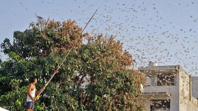 Locust  الجراد يضرب الهند بقوة