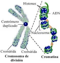 Histona: cromosoma divisor