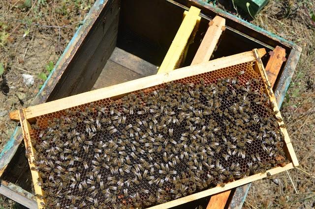 Ένα περίεργο φαινόμενο στον ανοιχτό γόνο που λίγοι μελισσοκόμοι προσέχουν
