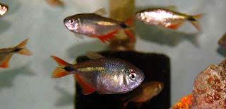 Buenos Aires Jenis Ikan Tetra Terpopuler