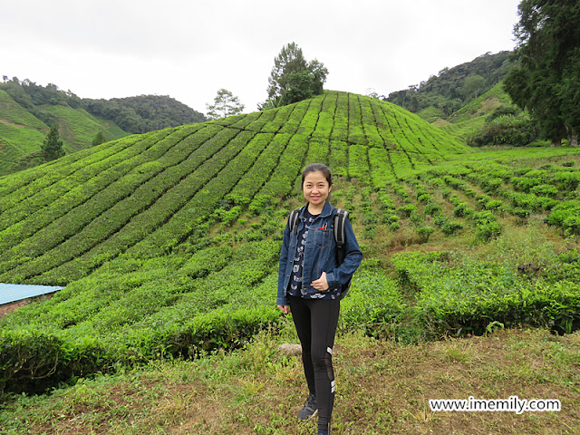 BOH Tea Plantation @ Cameron Highlands