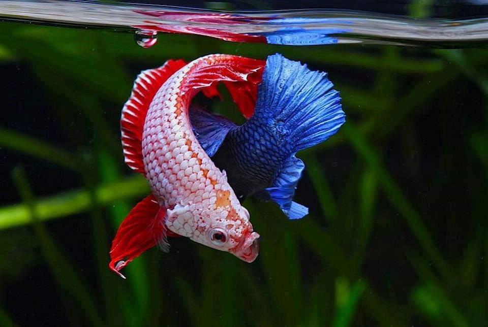 55 Jenis Ikan Cupang Lengkap Beserta Gambar - Ikanesia.id