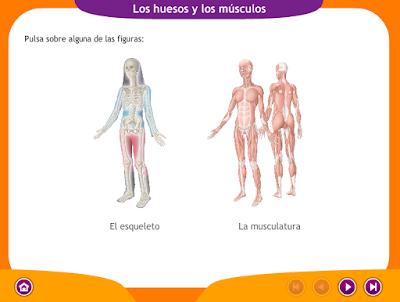 http://ceiploreto.es/sugerencias/juegos_educativos_6/2/2_Huesos_musculos/index.html