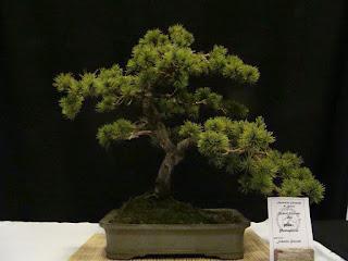 http://aubonsai.blogspot.com/2011/11/matsuri-bonsai-2011.html