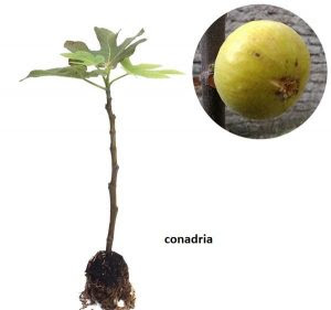 bibit-buah-tin-conadria.jpg